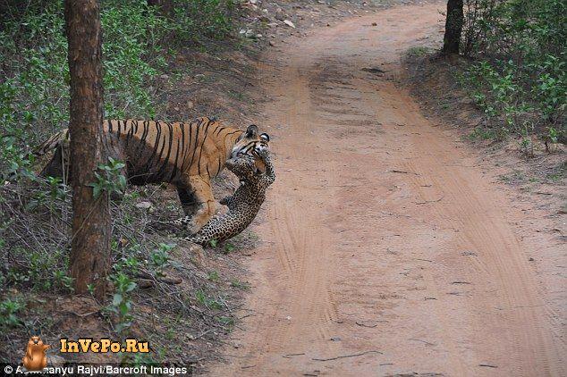 Тигр против леопарда: видео