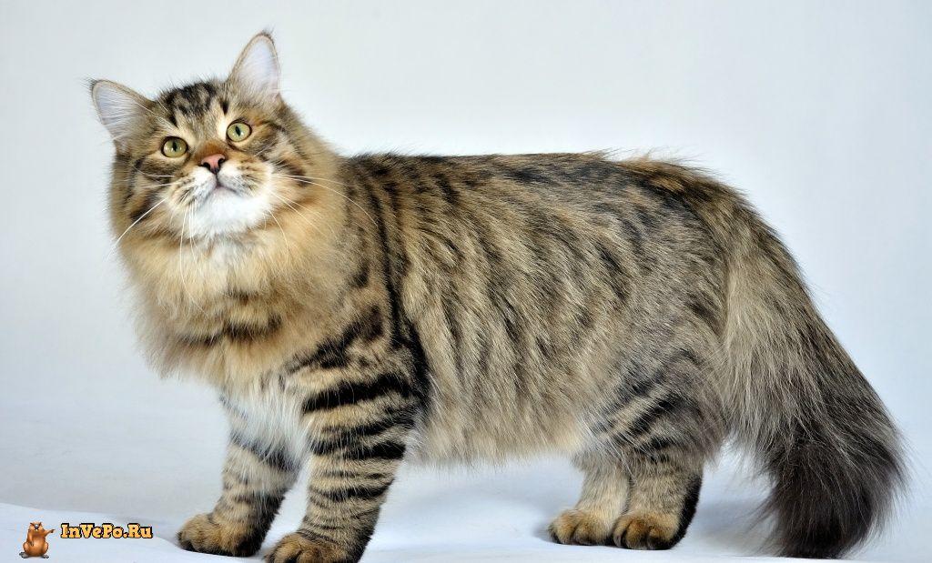 1. Сибирская кошка