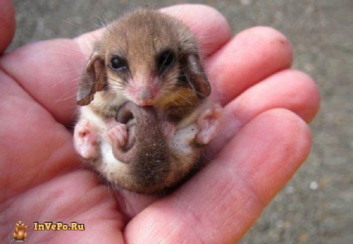 Малыши опоссума — самые милые существа на свете