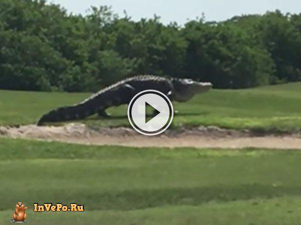 Динозавры живут среди нас, гигантский аллигатор замечен на поле для гольфа (Видео)