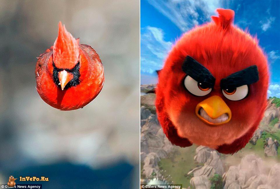 Идеальный снимок Красного северного кардинала копия Angry Birds