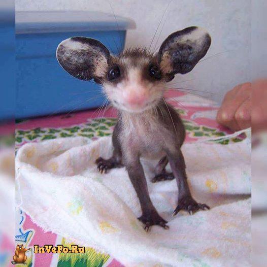 malenkij-opossum-1