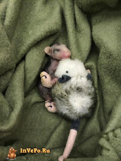 malenkij-opossum-2
