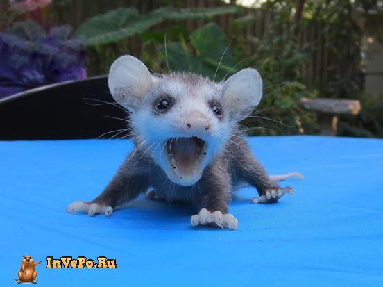 malenkij-opossum-4