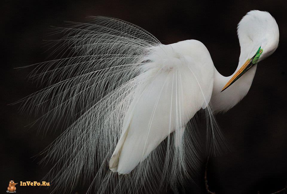 quibbll-melissa-groo-great-egret