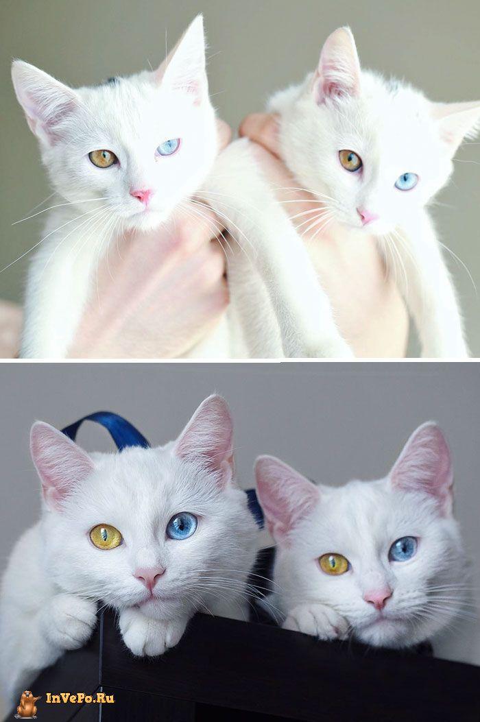 Самые красивые близнецы Кошки