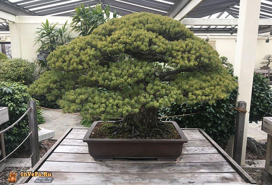 дерево Бонсай находится в Национальном дендрариуме США в Вашингтоне