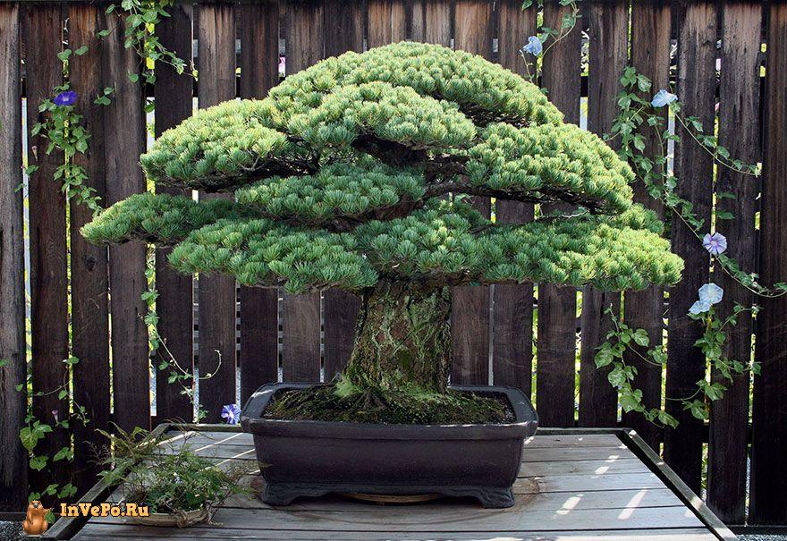 Это дерево Бонсай посаженное в 1625 году пережило бомбардировку Хиросимы и продолжает расти