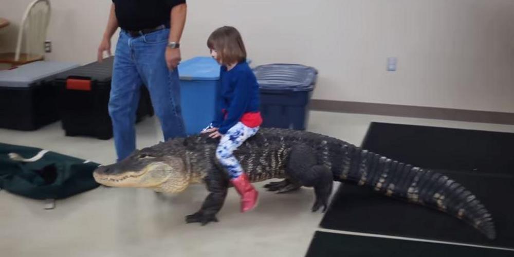 «Бубба» — 90-килограммовый аллигатор длиной 2,4 метра из Чикаго. Его оседлала маленькая девочка по имени Кэти.