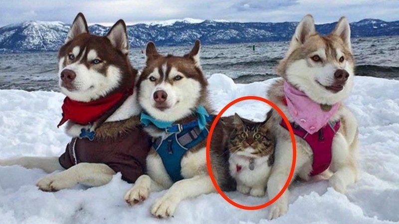 Кошка, которую спасли и вырастили хаски, считает себя большой и отважной собакой