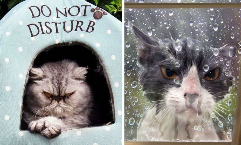 17 Злых, разгневанных кошек, которым все надоели (17фото)