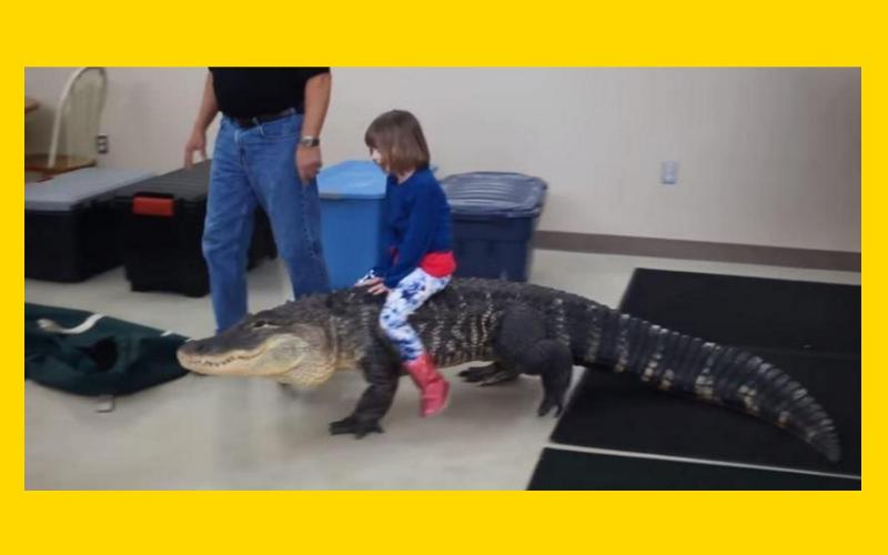Это видео девочки верхом на аллигаторе может встревожить кого угодно