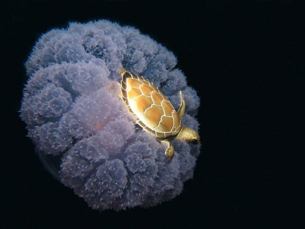 Черепаха верхом на медузе