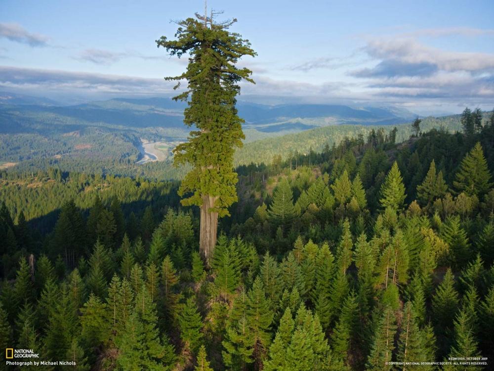 Гиперион — самое высокое дерево на Земле. Его высота — 115,6 метра, а предполагаемый возраст — около 800 лет.