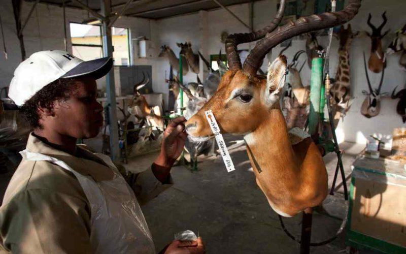 Взгляд изнутри: Фабрика по производству чучел животных в Намибии (36фото)