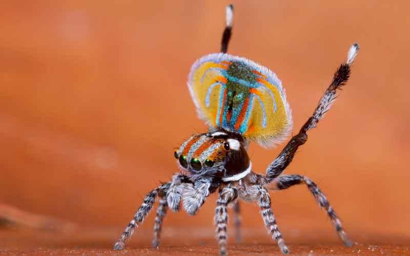 Такой красоты вы еще не видели: крошечные павлиньи пауки