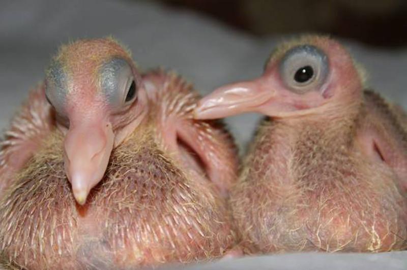 Как выглядят птенцы голубей?